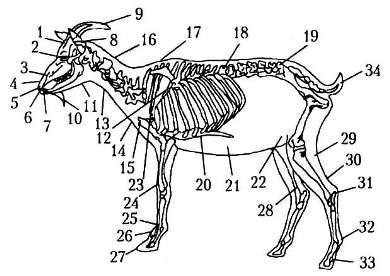 Смешные приколы, анатомия козы в картинках